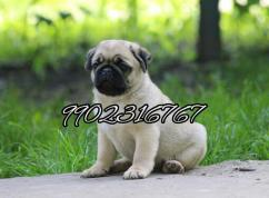 Outstanding wrinkle face quality pug puppies