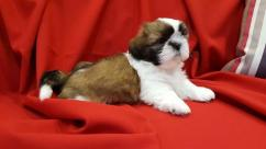 Very fluppy quality shihtzu tri colour pups for sale
