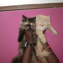 Persian kittens with paper
