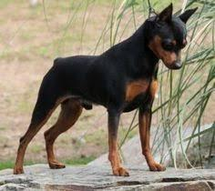 Min Pin Pups For Sale