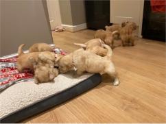 Sparkly Golden Retrievers and Labrador puppies