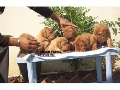 French Mastiff (bourduex) pups for sale