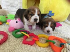 Beagle Puppies Available Here