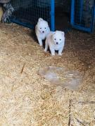 Cute potty trained male and female pom puppies ready for a new family.