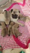 Super tops pug puppies with paper