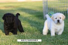 Cute labrador ret puppy for adoption