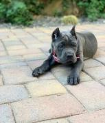 Trained imported cane corso pup