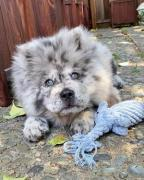 Well Trained imported chow chow