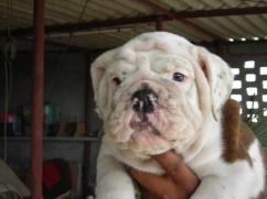 English BullDog pups for sale