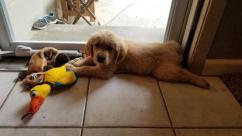 Golden Retrievers and Lab and Husky puppies
