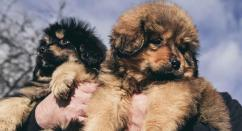 Tibetan mastiff sweet puppies