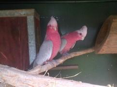 Tamed galah cockatoo parrot