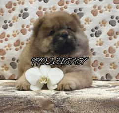 Very massive quality chow chow puppies