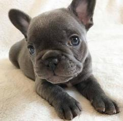 Full blooded french bulldog Puppies