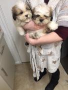 Beautiful white Shih Tzu Puppies needs loving home
