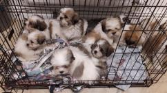 cute trained 12 weeks Shih Tzu Puppies puppiess excellent pedigree