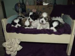 shih tzu puppies are now ready