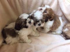 3month Shih Tzu Puppies ready for new home