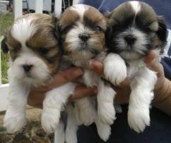 white and brown 2 sweet Shih Tzu Puppiess for a LOVING HOME