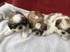 Adorable 2 Shih Tzu Puppiess for rehoming available