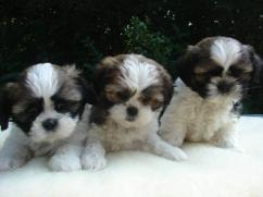 Energetic 10 weeks old shih tzu puppies,.