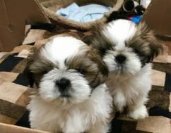 2 pure breed shih tzu puppies for a LOVING HOME..