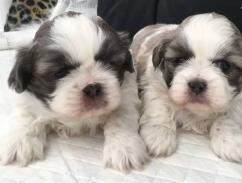 4 sweet Shih Tzu  puppies Absolute sweethearts.....