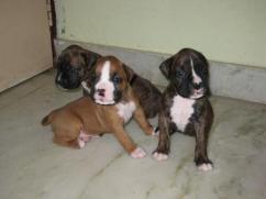 Good Quality Boxer Puppies