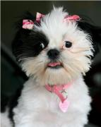 3 months old they are beautiful shih tzu puppies