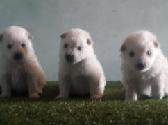 Ultimate pomeranian spitz puppies with paper in gurgaon