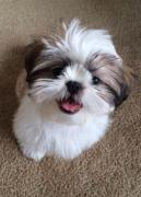 Home bread Shih tzu puppies are available for adoption if needed