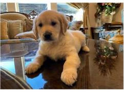 Outstanding Golden retriever and Lab Puppies For re homing