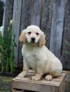 Adorable Male And Female Golden Retriever and Labrador  Puppies
