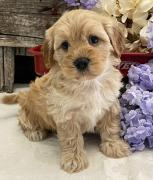 AKC QUALITY GOLDEN RITRIVER PUPPIES FOR ADOPTION