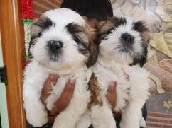 Shih tzu puppies for adoption Urgent