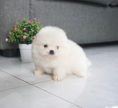 Amazing Pomeranian puppies available for adoption