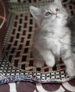 Persian kitten for sale - Mumbai