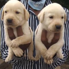 Loving Pair Of Labrador Puppy For Adoption Ready To A Pet Loving Family.