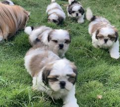 ADORABLE SHIH TZU MALE AND FEMALE PUPPIES FOR SALE
