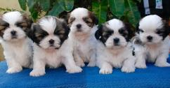 BEAUTIFUL KCI SHIH TZU MALE AND FEMALE PUPPIES FOR SALE