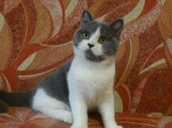 Beautiful  male and female British shorthair kittens  ready for a new family