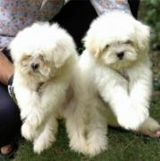 2 beautiful white Maltese puppies for rehoming