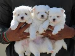 Attractive Maltese puppies male and female for adoption