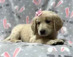 Sparkly Golden Retriever and Labrador Puppies available here
