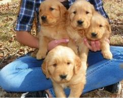 HOME TRAINED GOLDEN PUPPIES