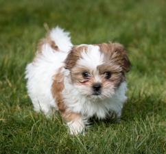 Beautiful Shih tzu puppy for caring homes