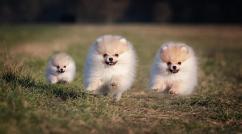 Proper shape proper vaccinated Pomeranian puppies