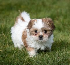 Cute Shih tzu puppy for caring homes