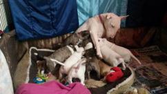 English BullTerrier Pups