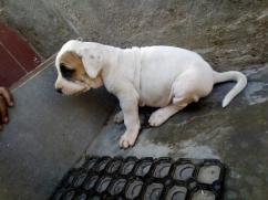 Indian Mastiff Pak Bully Puppies